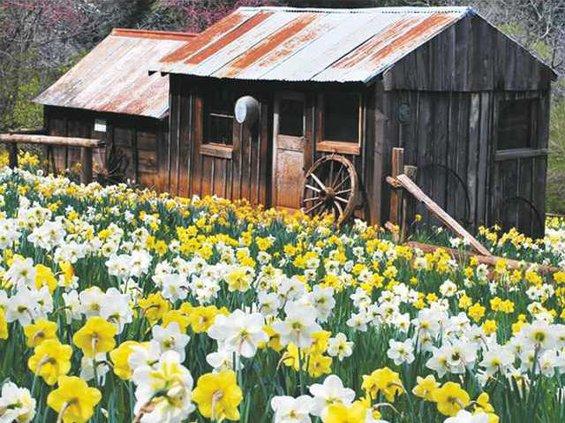 MAIN-daffodil-hill-amador-county