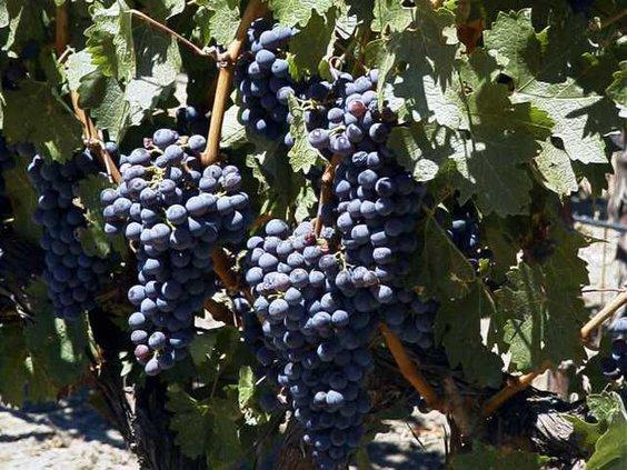 napa grape