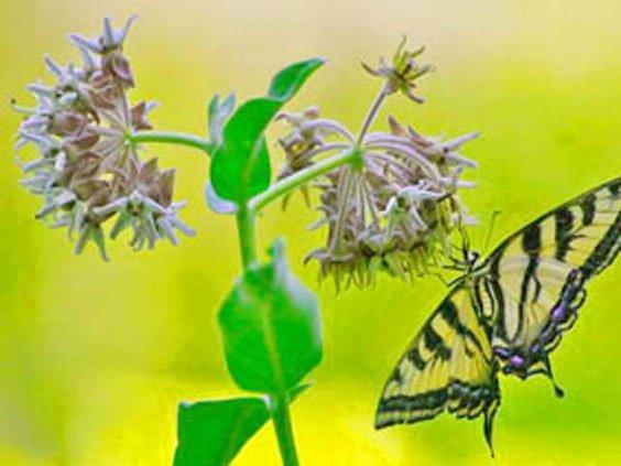 showy milkweed-web 1-LT