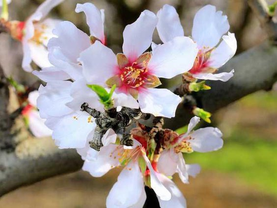 ALMOND BLOSSOMS3 2-16-15