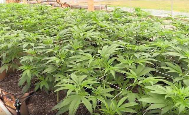 marijuana pic