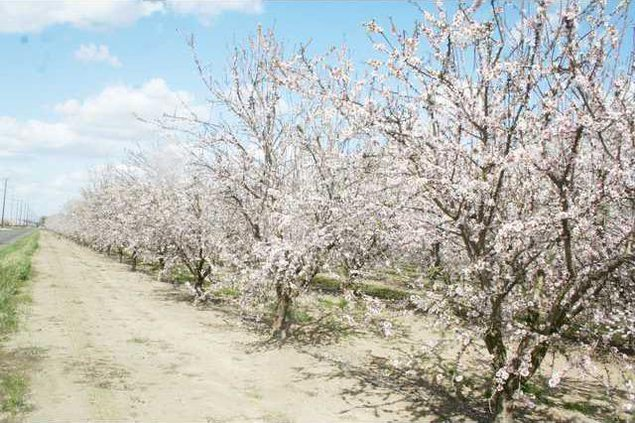 almond blossoms pic1