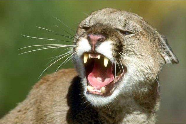 mountain lion pic