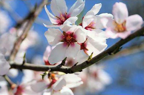 Salobrena Almond Blossom