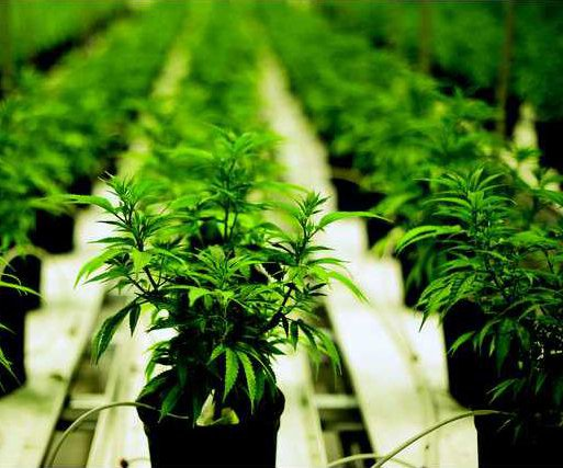 n-cannabis-c-20160627