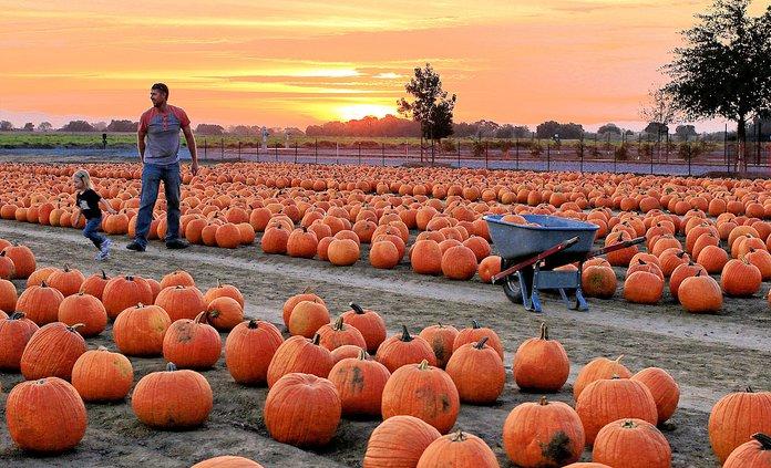 Del Osso pumpkins