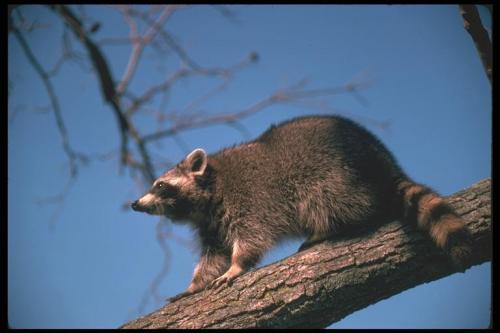 Raccoon Cal Outdoors.png