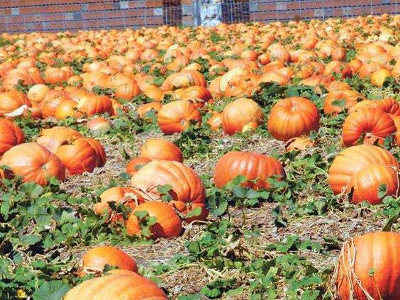 Pumpkin-Van-Groningen--DSC 6470-LT