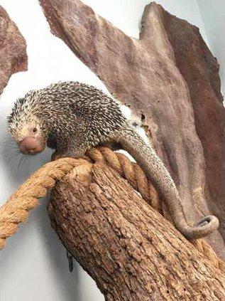 Porcupine - full legth