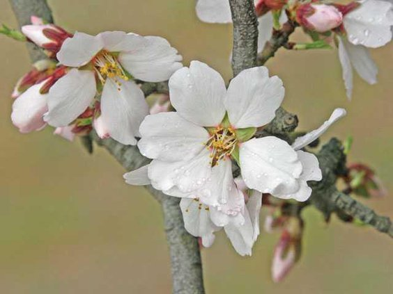 almond-blooming-LT