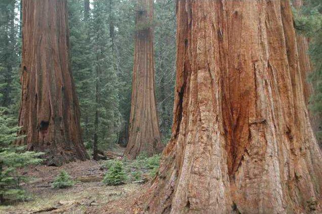 Giant Sequoias Big Trees Trail