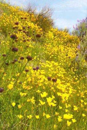 California Poppies 3