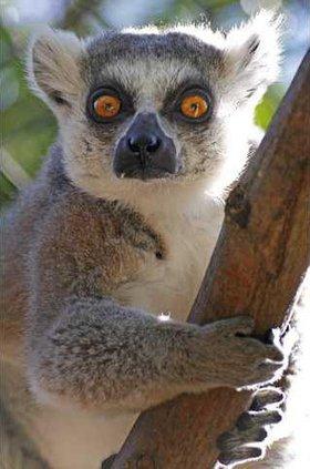 Ring-tailed lemur5947 MO