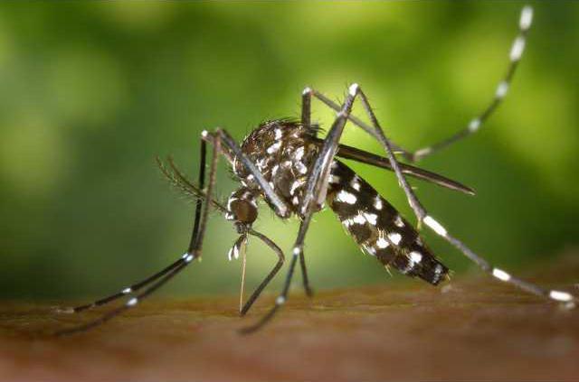 Zika mosquito pic