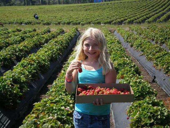 strawberry-picking 0