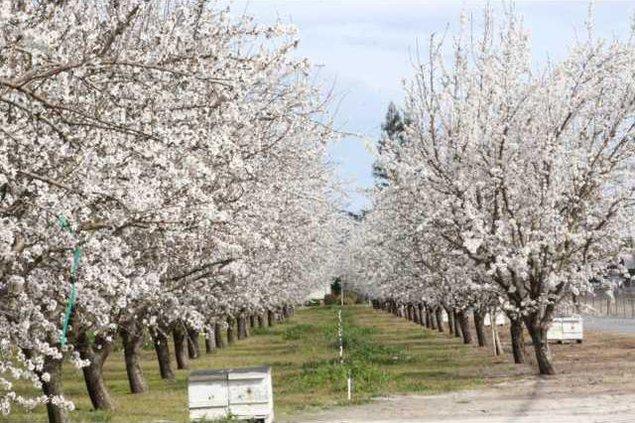 Blossoms pix