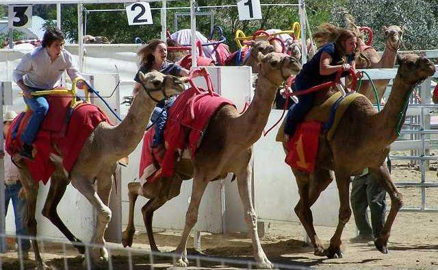 camelrace2