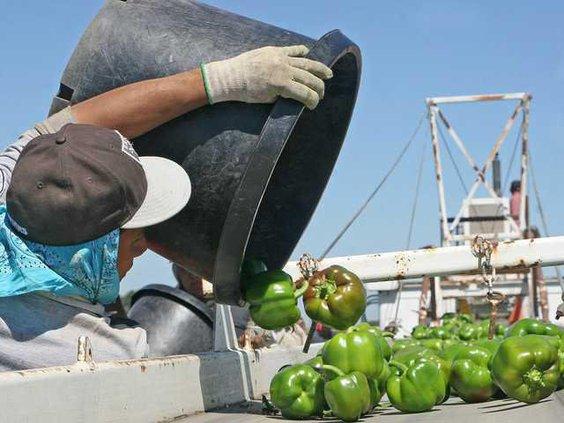 eckerts bell peppers5.jpg