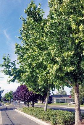 ripon trees