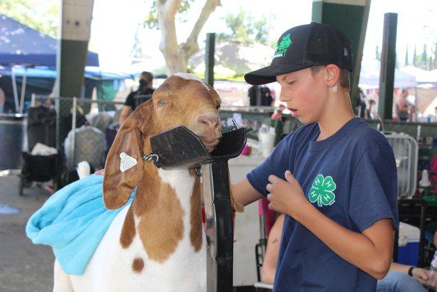 fair animals 1