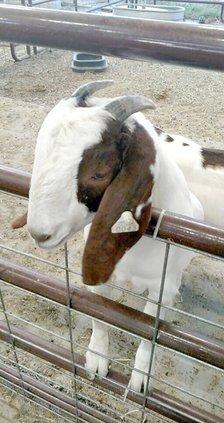 Bella goat