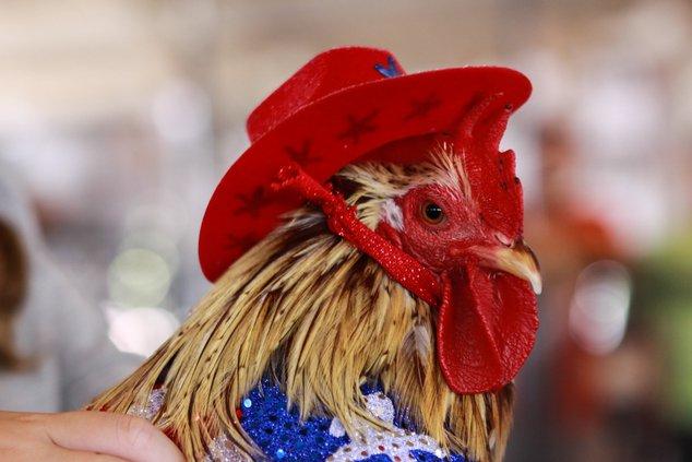 dress up chicken