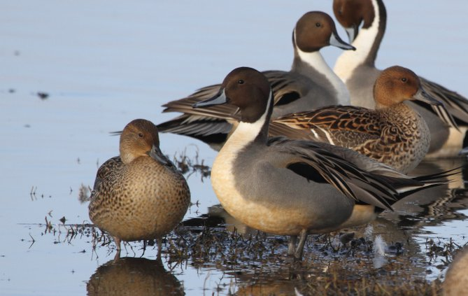 co pintails