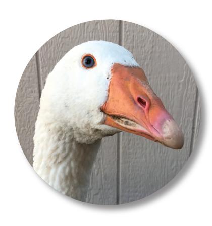farm-goose.png