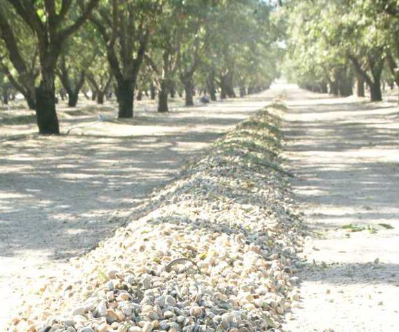 almond harvest pic1