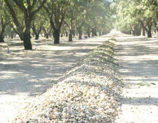 almond harvest pic1