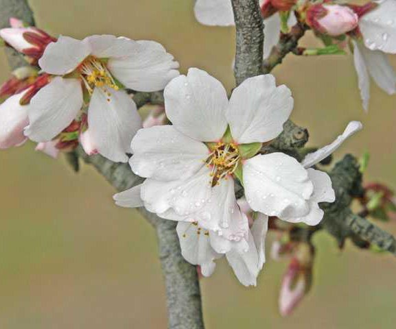 almond-blooming-LT