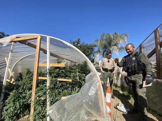 illegal cannabis bust 1