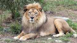 sf LION