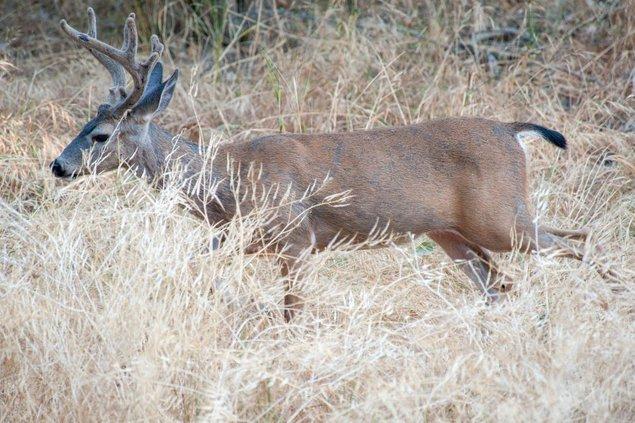 Deer CDFW