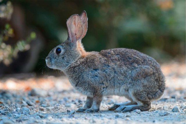 Is A Vaccine Available For Rabbit Hemorrhagic Disease?