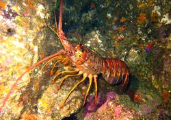 CO LOBSTER