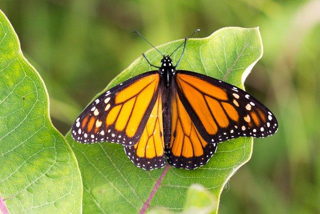 Monarch pix