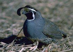 co quail